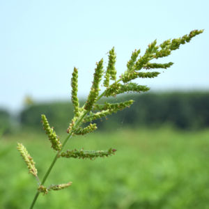 Nut Grass/ Weeds